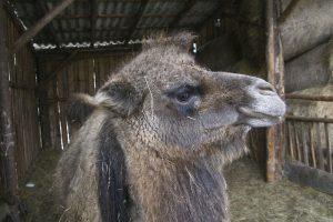 Wielbłąd w ZOO Farma