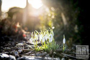 Wiosna przyszła. Przebiśniegi już kwitną