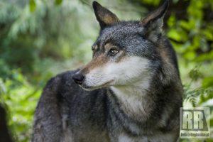 Informacja dla mieszkańców w sprawie wilków
